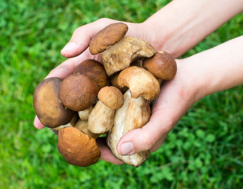 Пригорошня грибов porcini стоковые фотографии rf
