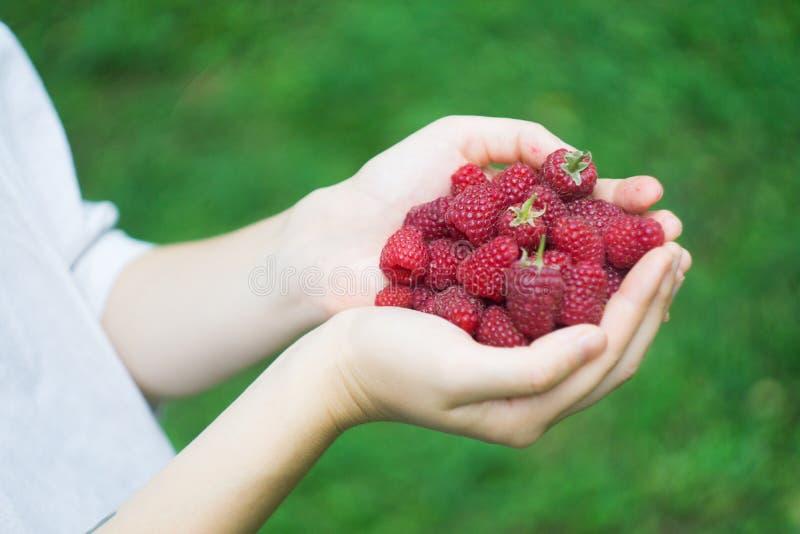 Пригорошня зрелых красных поленик леса в руках молодой женщины или девушки стоковая фотография rf