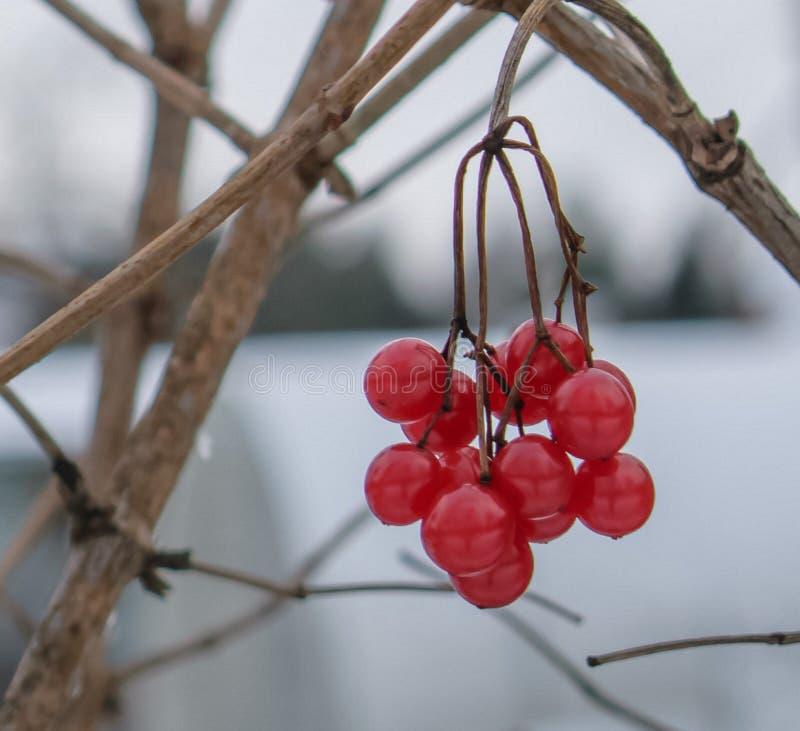 Пригорошня одичалых ягод в заморозке зимы стоковое изображение rf
