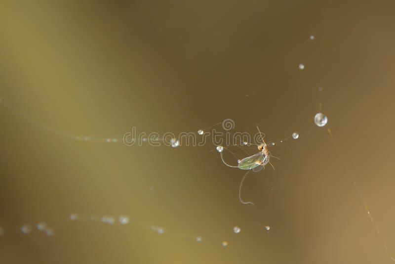 Прикрепляются бело-облаченное насекомое в волокно паука стоковое фото