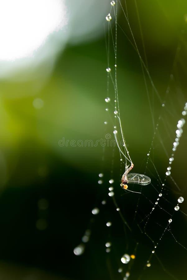Прикрепляются бело-облаченное насекомое в волокно паука стоковые фотографии rf