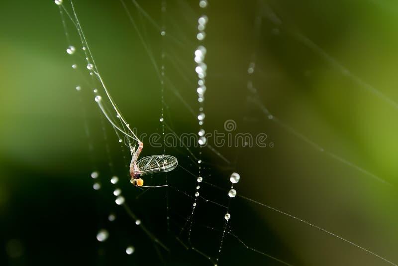 Прикрепляются бело-облаченное насекомое в волокно паука стоковая фотография