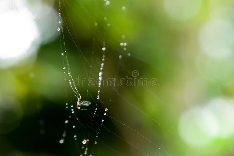 Прикрепляются бело-облаченное насекомое в волокно паука стоковое изображение rf