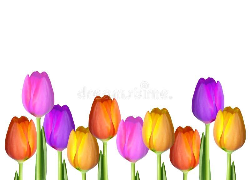 Прикройте изолированную предпосылку карточки тюльпана стоковая фотография rf