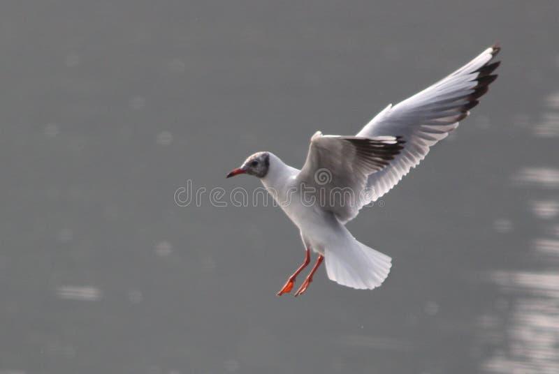 Прилетная чайка моря стоковая фотография