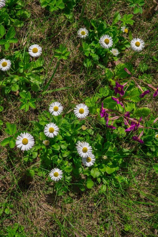 Примрозы в саду, ранняя весна Красивые, яркие цветы с белыми примрозами стоковое фото
