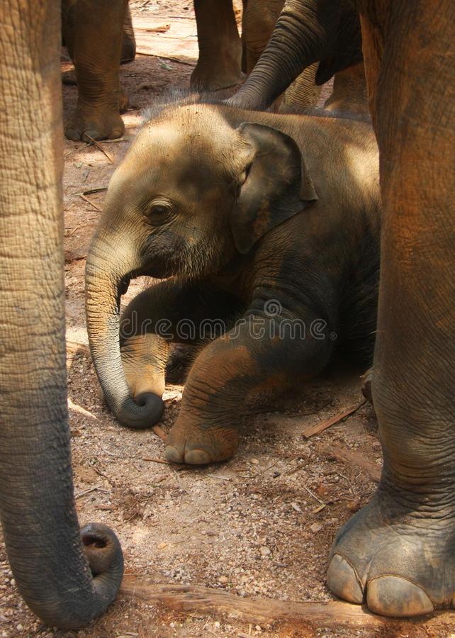 принесенный младенцем слон икры новый стоковое фото rf