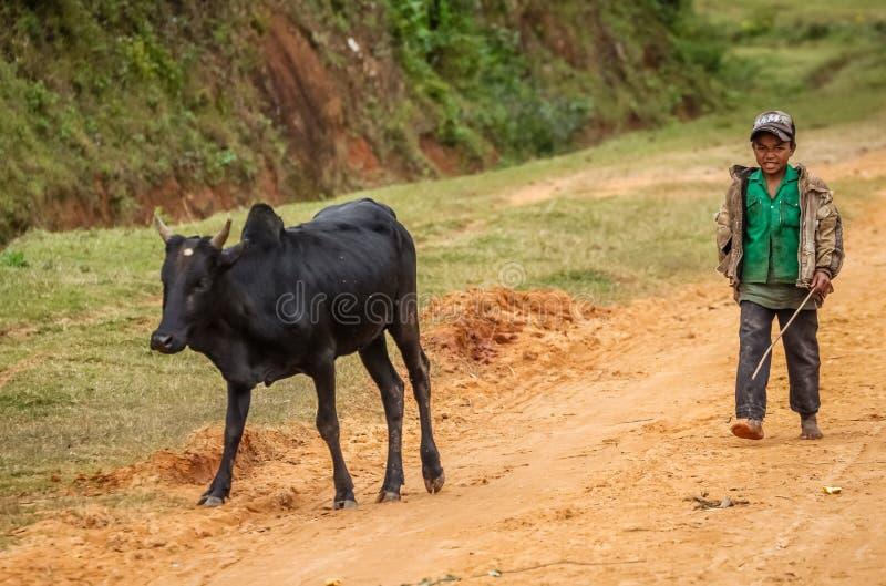 Принимать зебу для прогулки стоковые фото