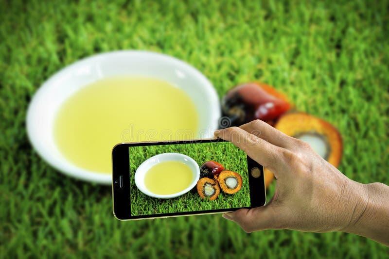 Принимать фото свежих плодов пальмового масла с мобильным телефоном стоковое изображение