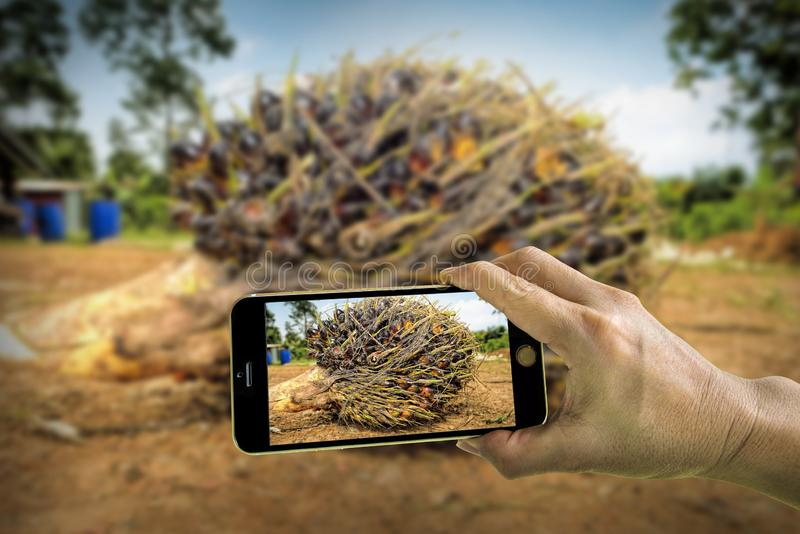 Принимать фото свежих плодов пальмового масла с мобильным телефоном стоковая фотография