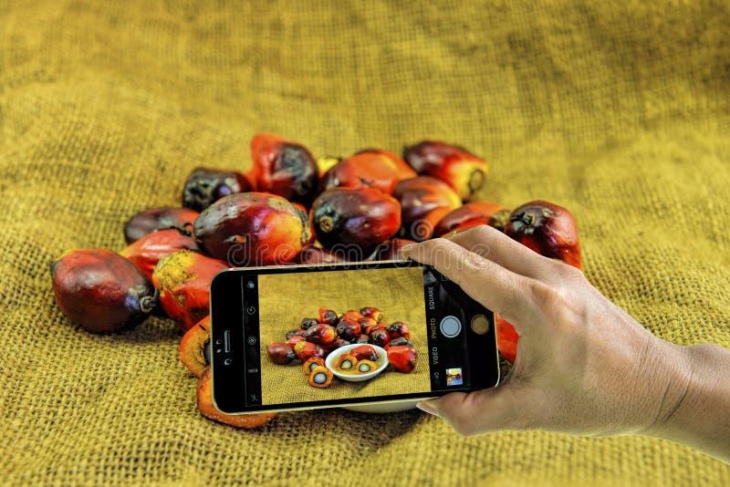 Принимать фото свежих плодов пальмового масла с мобильным телефоном стоковая фотография rf