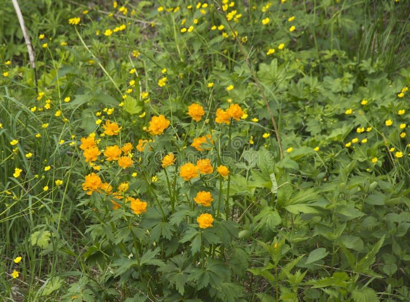 Принцесса тролля цветков весны европейская оранжевая стоковая фотография