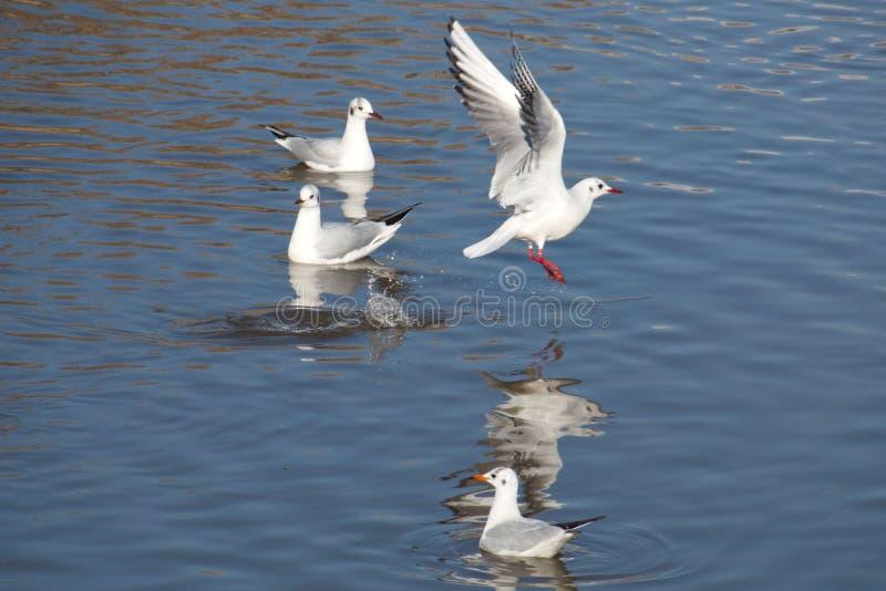 принятая солнечность чайок Квинсленда mooloolaba летания свободного полета Австралии стоковое изображение