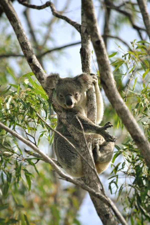 принятое фото koala медведя Австралии стоковое фото rf
