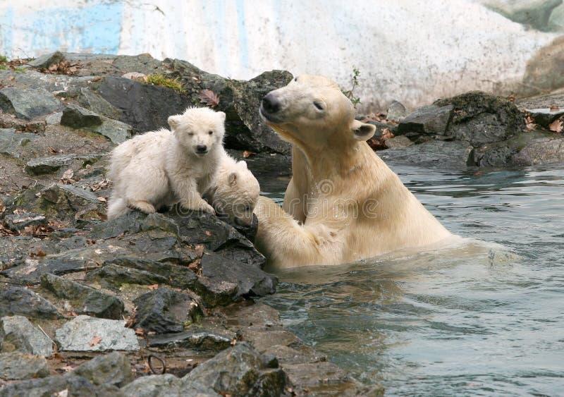 приполюсное принесенное медведями новое Редакционное Стоковое Фото