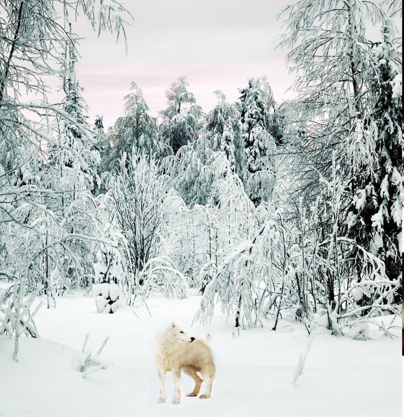 Приполюсный волк в taiga стоковое фото rf