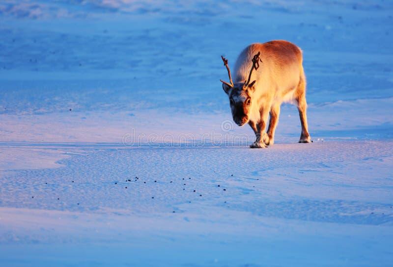 Приполюсный северный олень на льде стоковые фото