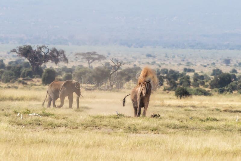 Припудривание слона под маской Amboseli стоковая фотография