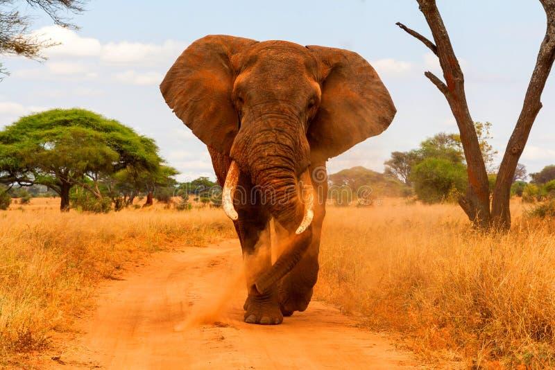 Припудривание и идти слона стоковая фотография rf