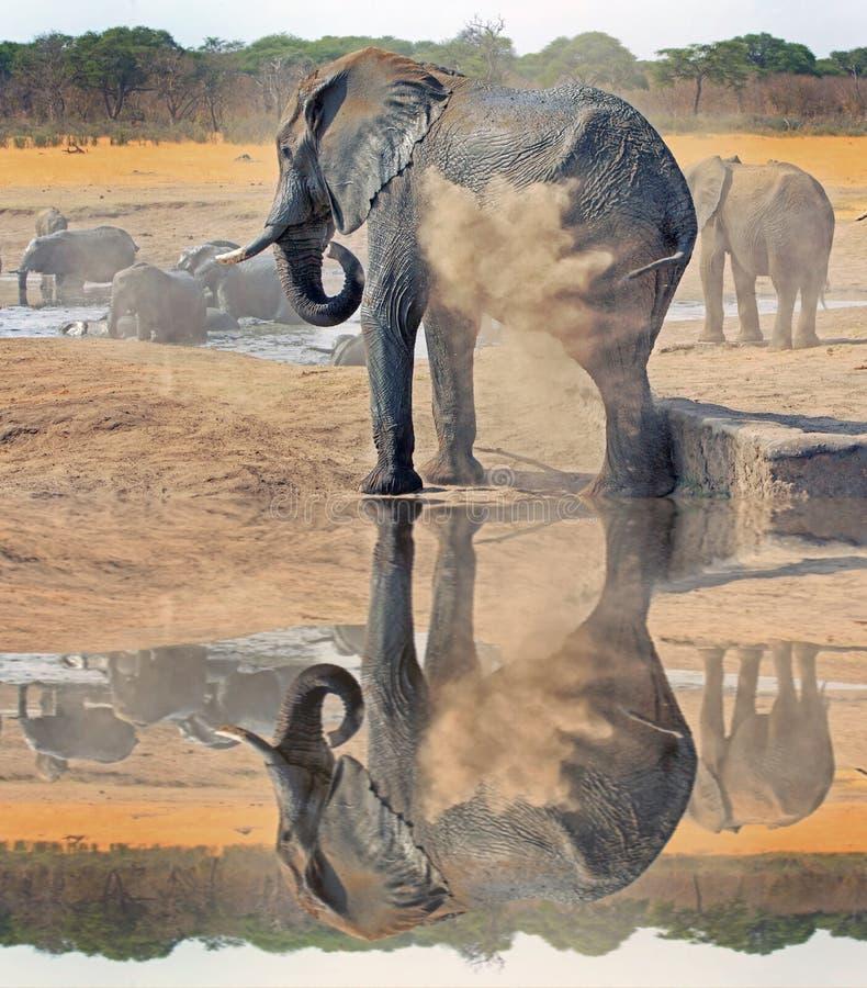 Припудривание само слона против отражения в национальном парке Hwange, Зимбабве стоковые фото