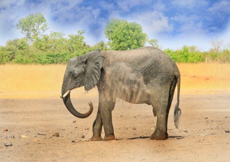 Припудривание себя слона на сухих равнинах в национальном парке Hwange стоковое фото rf