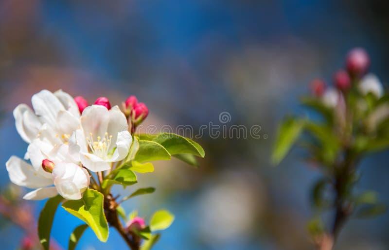 Природа весны defocused запачкала предпосылку с симпатичными цветением, лепестком и bokeh на предпосылке голубого неба Концепция  стоковое фото rf