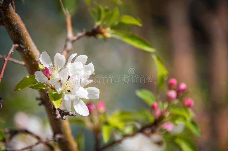 Природа весны defocused запачкала предпосылку с симпатичными цветением, лепестком и bokeh на предпосылке голубого неба Концепция  стоковые фотографии rf