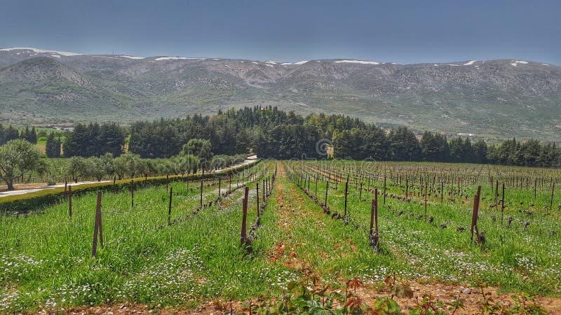 Природа виноградников на замке Kefraya Ливане Одна из самых лучших виноделен в Ливане, западное Bekaa Valley стоковое изображение