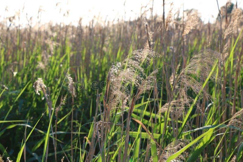 Природа выходит тростники яркого зеленого цвета солнечного дня стоковая фотография rf