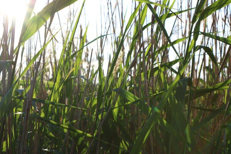 Природа выходит тростники яркого зеленого цвета солнечного дня стоковое изображение rf