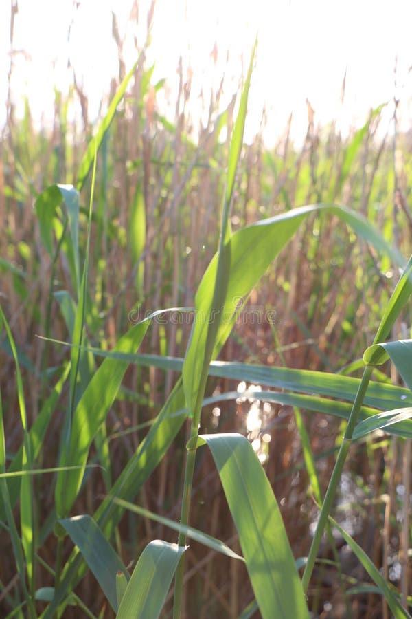 Природа выходит тростники яркого зеленого цвета солнечного дня стоковые фотографии rf