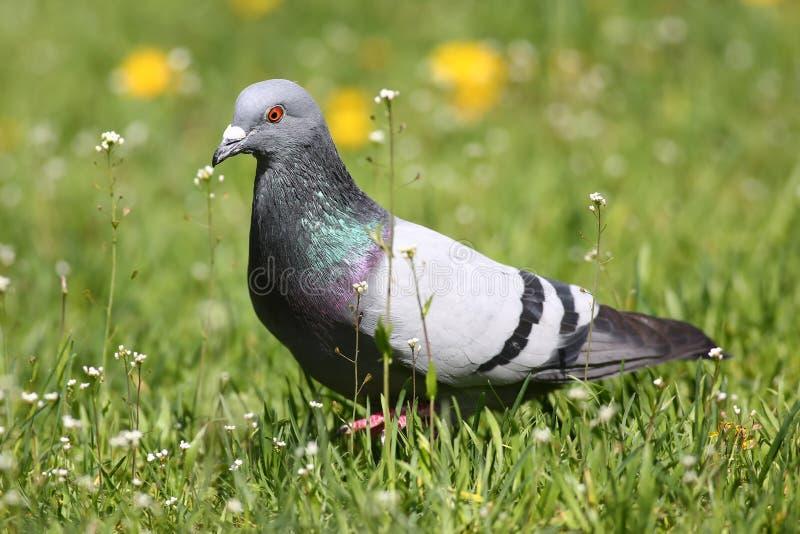 Природа голубя голубого утеса весной стоковое фото