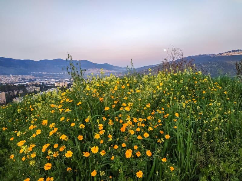 Природа Израиля Хайфы Karmiel Поле Wildflower, высоты около долины, солнечный восход солнца и никто цветет помеец ноготк стоковые изображения