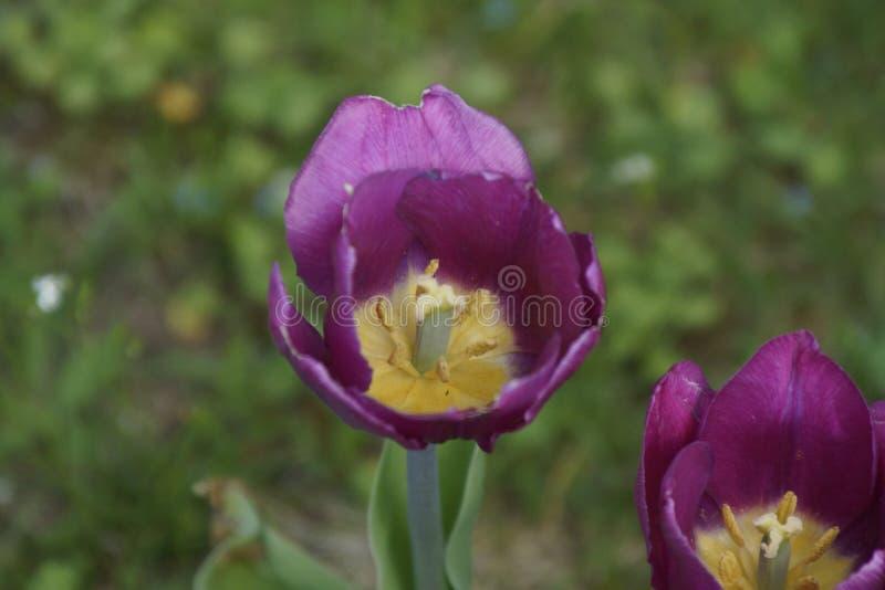 Природа пурпура цветка стоковая фотография