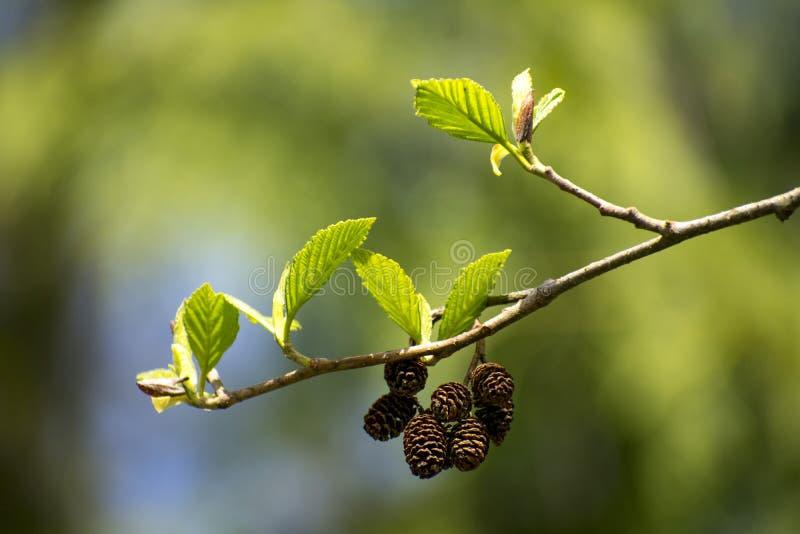 Природа Рему на ветви с зелеными листьями стоковые изображения rf