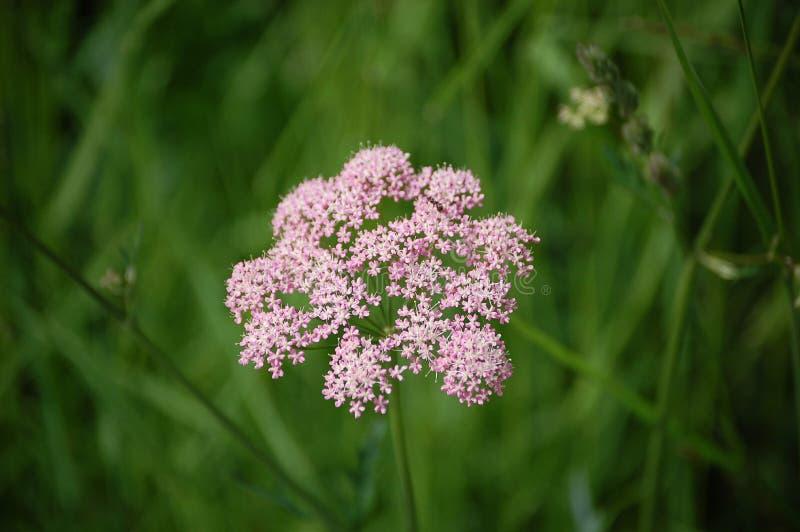Природа цветка розовая стоковые изображения