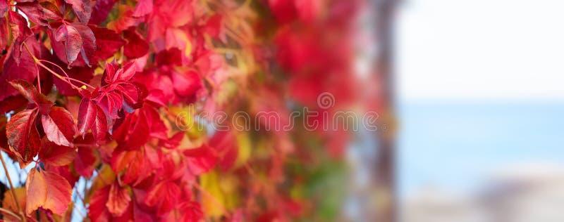 Природный парк листвы завода осени знамени красный на ландшафта осени пляжа фокусе красивого выборочном стоковое фото rf