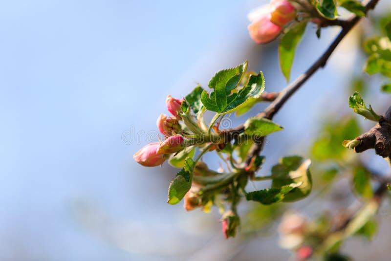 Download Природа Розовые цветения на ветви яблони Стоковое Фото - изображение насчитывающей нежно, сад: 40587406