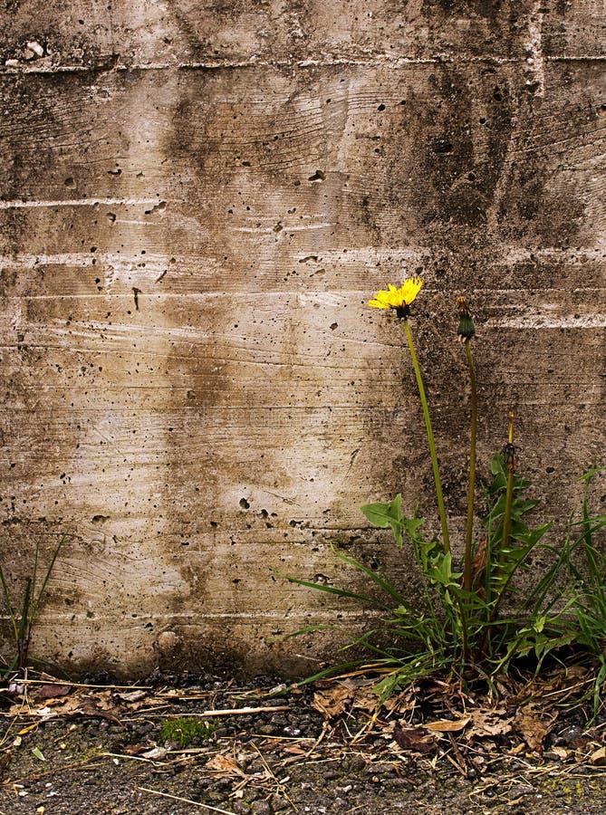 Природа торжествует над невзгодой - одуванчиком старой стеной, Taraxac стоковая фотография
