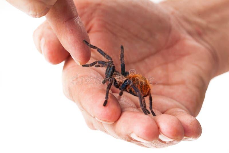 Прирученный паук тарантула в руке стоковые фотографии rf