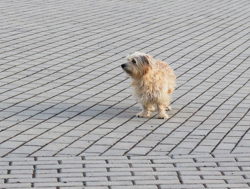 Пристальные взгляды простые домашней собаки умышленно на расстоянии, стоя на каменной мостовой Прекрасные и смешные любимцы Жизнь стоковая фотография rf