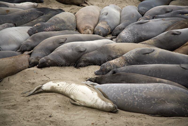 Download пристаньте мыжского морсого льва к берегу Стоковое Изображение - изображение насчитывающей отдыхать, замечание: 40580965