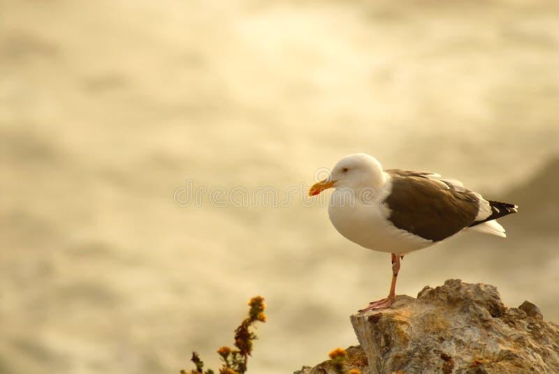 пристаньте океан к берегу califo обозревая ую чайку утесов pismo стоковые фотографии rf