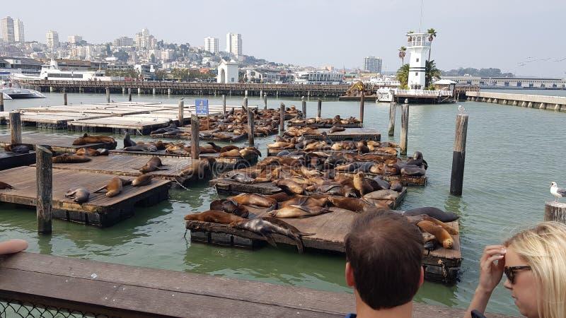 Пристань 39 Сан-Франциско морских львов стоковое фото rf