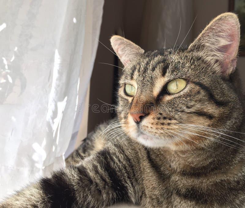 Пристальные взгляды кота tabby Брайна в свет стоковое фото rf