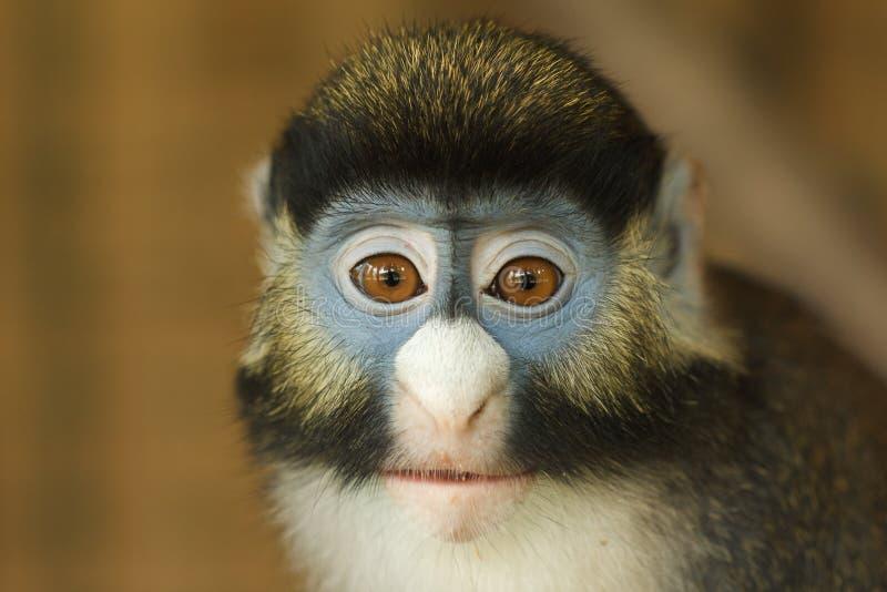 Прифронтовой портрет меньших Пятн-обнюхал обезьяну стоковое фото