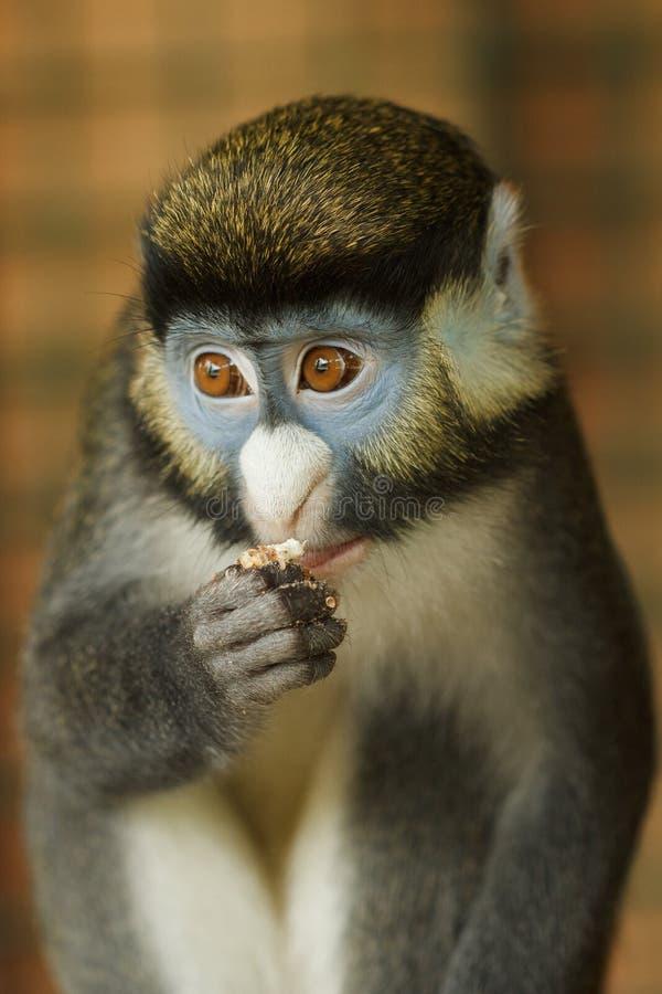 Прифронтовой портрет меньших Пятн-обнюхал обезьяну стоковое изображение rf