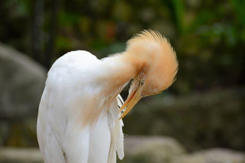 Прихорашиваться egret скотин стоковые фото