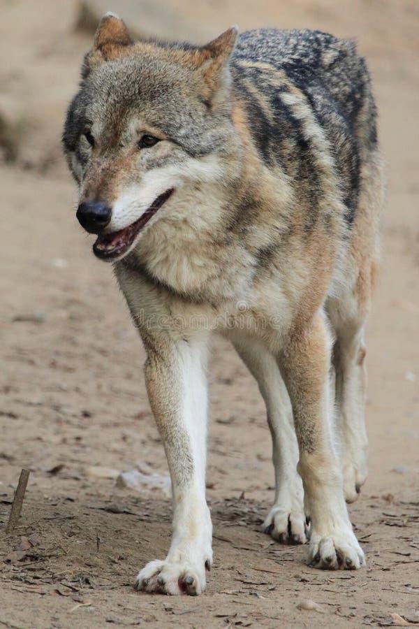 Причаливая волк стоковое изображение rf