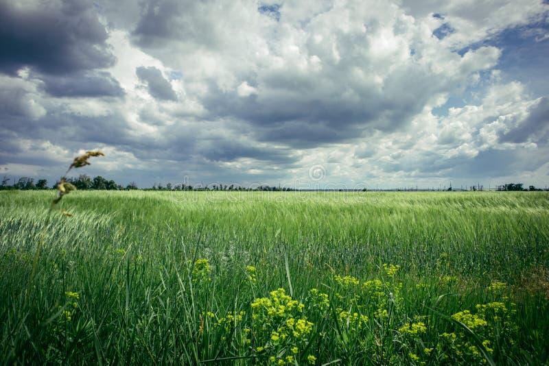 Причаливая гроза в пшеничном поле стоковая фотография
